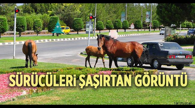Manisa'da yılkı atları şehre indi!