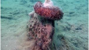 CAHİT GÜNAYDIN: Marmara Denizi Hıyarı Yaşamak İçin Hollanda ve Fransa'ya Vekâlet Verdi