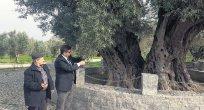 Kırağaçtaki ağaç Hz. İsa'yla yaşıt